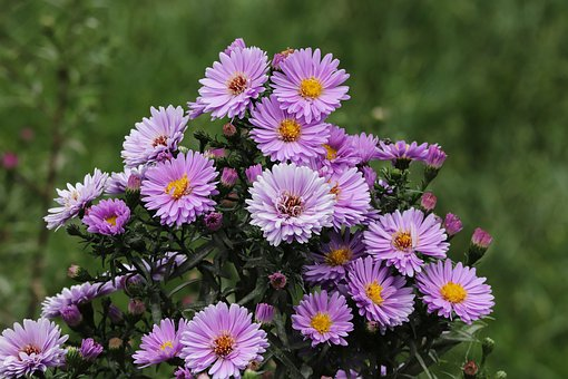Herbstastern, Asters, Autumn, Flowers, Flower Bed