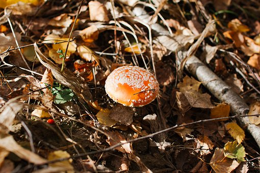 Mushroom, Amanita, Autumn, Foliage, Forest, Forests