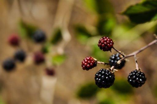 Blackberries, Red, Black, Fresh, Delicious, Summer