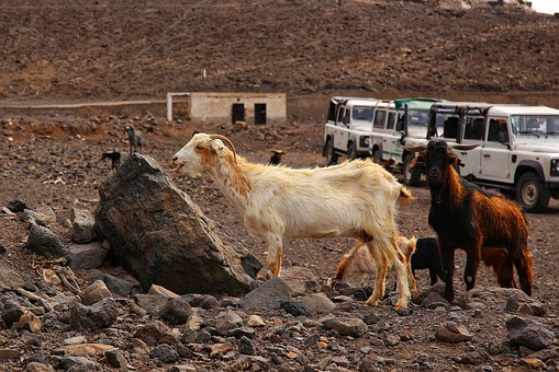 Goat, Fuerteventura, Vacations, Horns, Island, Cute