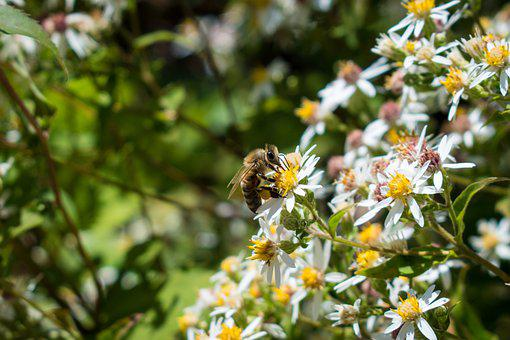 Bee, Flowers, Yellow, White, Insect, Bug, Bloom, Garden