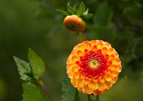 Georgine, Flower, Dahlia, Flora, Garden Plant
