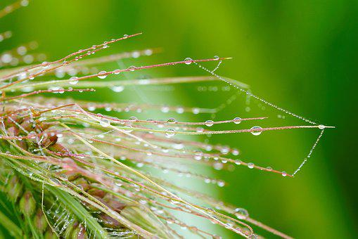 Dew, Morning, Green, Rice, Nature, Bokeh, Plant, Clean