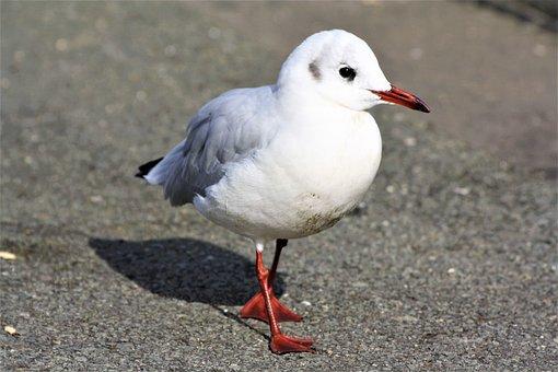Bird, Gull, Strut, Hh, Hamburgensien, Finkenwerder
