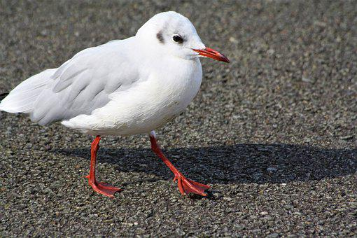 Bird, Gull, Strut, Feather, White, Hh, Hamburgensien