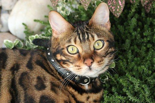 Bengal, Bengal Cat, Tiger, Cat, Feline, Animal, Nature