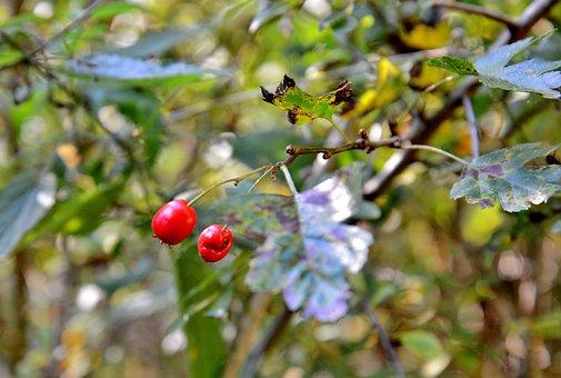 Berries, Sheet, Tree, Leaves, Hips, Fruits, Nature