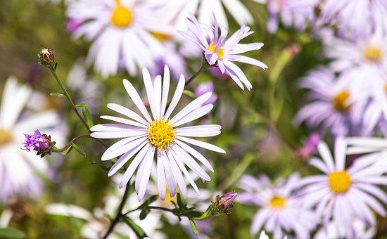 September Herb, Myrtle Aster, Flower, Ornamental Plant