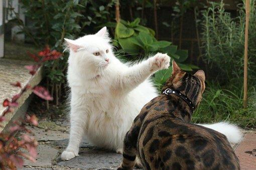 Cats, White Cat, Bengal, Kitten, White, Pet, Animal