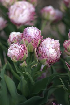 Tulip, Pink, White, Spring, Group, Tulips, Flowers