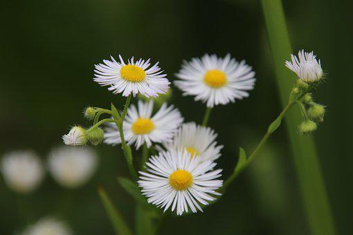 Daisies, Flowers, White Color, Plants, Prairie, Garden