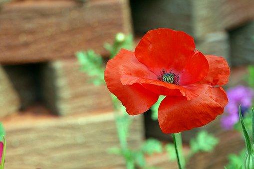 Poppy, Red, Flower, Nature, Klatschmohn, Blossom, Bloom