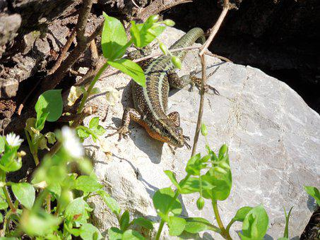 Lizard, Summer, Reptile, Animal, Green, Stone, Animals