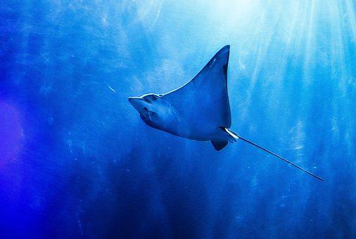 Ocean, Rays, Sea, Sting Rays, Fish, Diving