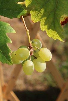 Grapes, Ripe, Fruit, Wine, Sweet, Healthy, Grapevine
