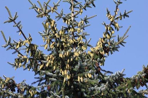 Tree, Spruce, Conifer, Wallpaper, Backdrop, Cones