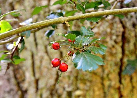 Berries, Fruits, Tree, Tree Trunk, Bark, Leaves, Autumn