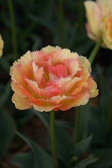 Tulip, Orange, Yellow, Frayed, Double, Spring, Tulips