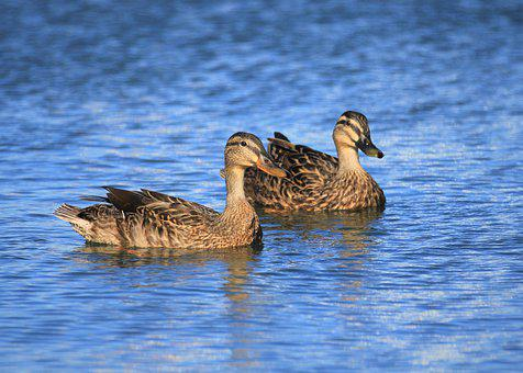 Duck, Bird, Watching, Two, Blue, Water, Pond, Pair