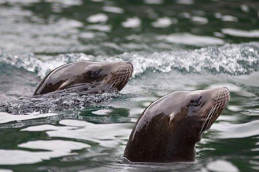 Seal, Water, Wave, Robbe, North Sea, Meeresbewohner