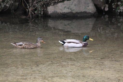 Mallard Duck, Pair, Waterfowl, Duck, Nature, Cock