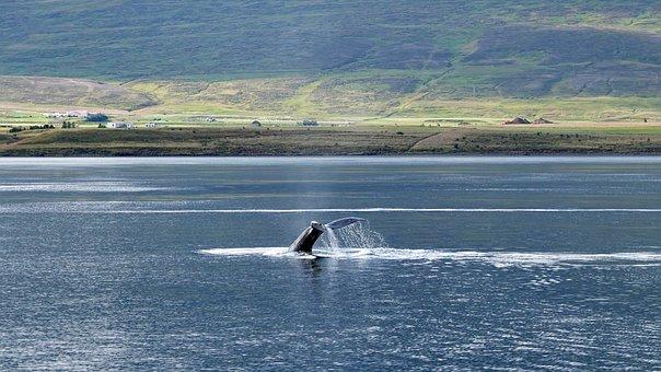 Whale, The Humpback Whale, Humpback Whales, Mammal