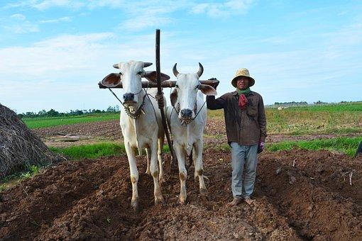 Farmer, Cow, Worker, Cattle, Animal, Field, Grass, Oxen