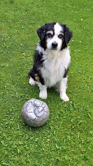 Dog, Australia Shepard, Black White Brown