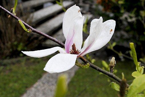Magnolia, Flower, Pink, White, Nature, Close, Beautiful