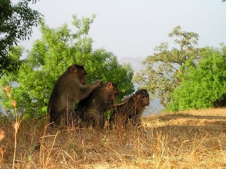 Berber Monkeys, Ape, Delouse, India, Wild