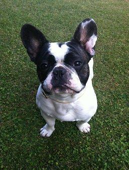 Dog, Bulldog French, Lawn