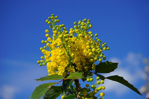 Ordinary Mahogany, Mahogany, Flowers, Yellow, Bush