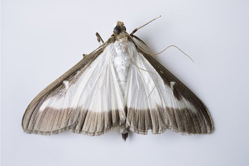 Cydalima Perspectalis, Butterfly, Moth, Invasive, Pest