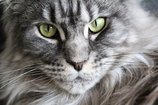 Cat, Maine Coon, Maine Coon Cat, Cat Face, Main Coon