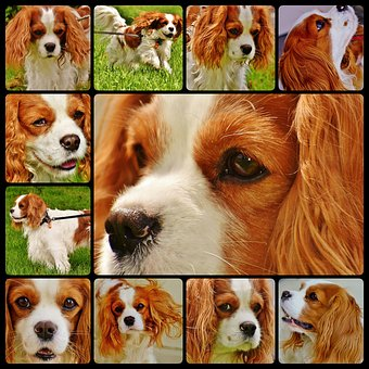 Dog, Cavalier King Charles Spaniel, Collage, Funny, Pet