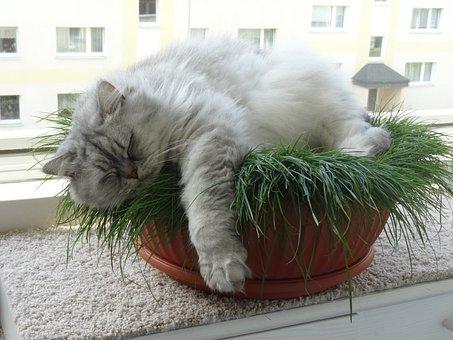 Cat, Domestic Cat, British Longhair Cat, Cute, Rest