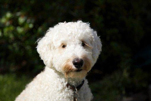 Dog, Puppy, Labradoodle, Eyelashes, Adorable, White