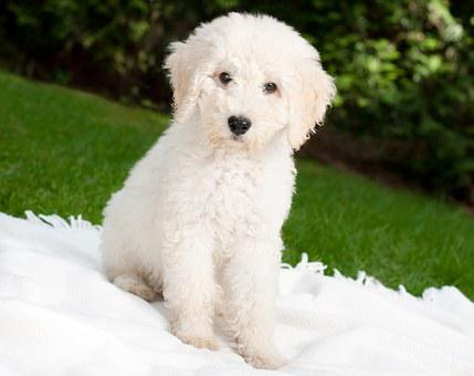 Dog, Puppy, Labradoodle, White, Pet, Young, In The Free