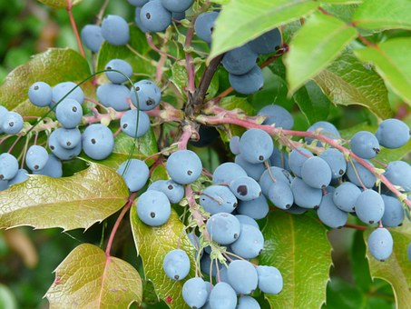 Berries, Blue, Fruit, Plant, Ordinary Mahogany