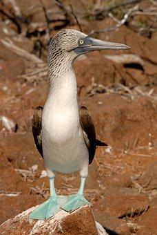 Booby, Galapagos, Blue-footed, Bird, Ecuador, Nature