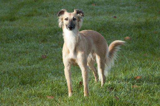 Silken Wind Sprite, Longhaired Whippet, Dog, Greyhound