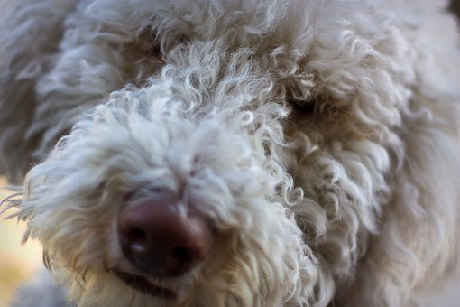 Dog, Labrador, Labradoodle, Lab, Pet, Canine, White