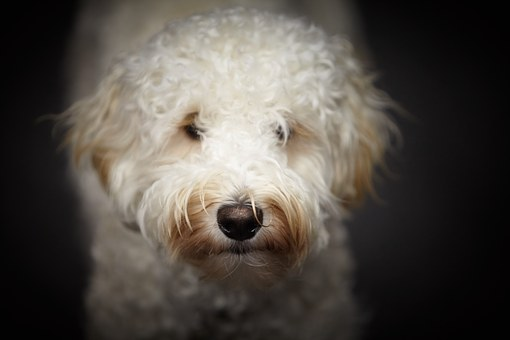 Puppy, Labradoodle, White Dog, Face, Dog, Pet, Cute