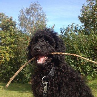 Dog, Labradoodle, Stick, Summer, Garden