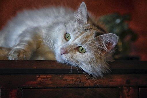 Cat, Animal, Animals, Longhair Cat, Cat Eyes, Cat Face