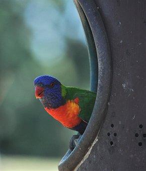 Lorikeet, Bird, Rainbow, Wildlife, Colorful, Parrot