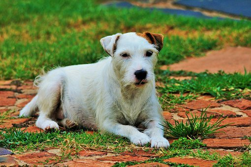Dog, Parson' Jack Russell, Lying Down, White, Animal