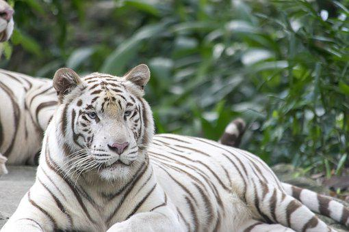 White Tiger, Tigers, Cat, Feline, Animal, Lying Down