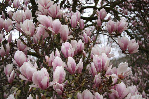 Magnolia, Bloom, Dissolved, Spring Flowering, Flowers