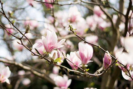 Magnolia, Magnolia Tree, Flowers, Magnolia Branches